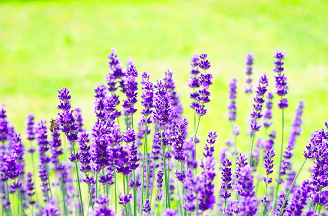 Do you know how to use Lavender medicinally?